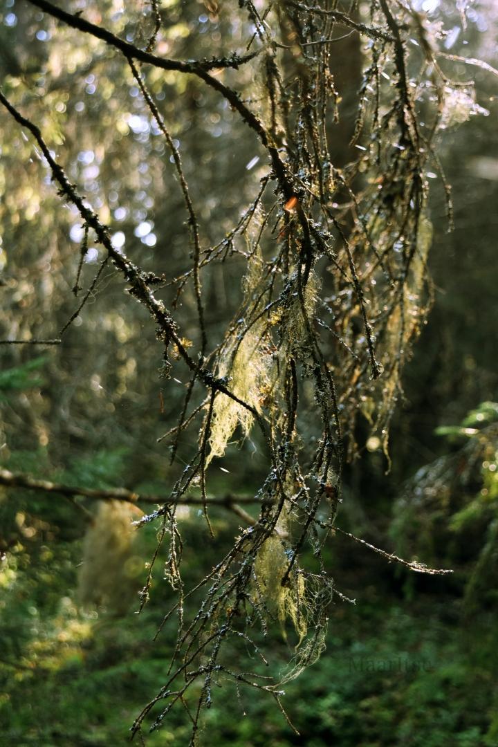 Puhdas ilma, puhdas metsä. Naavainen oksa auringonpaiseessa.