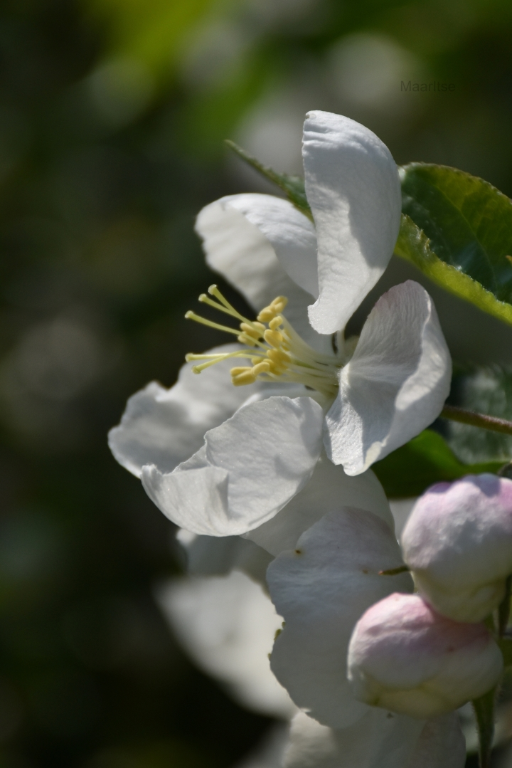 maaritse_flower_of_appletree