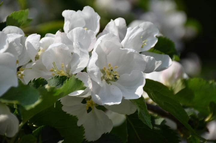 maaritse_rautatienomenapuun_kukkia